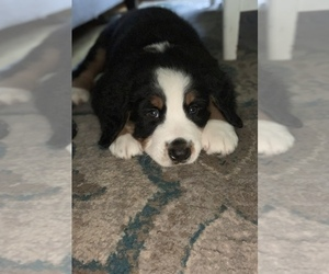 Bernese Mountain Dog Puppy for sale in ROMEOVILLE, IL, USA