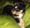 Australian Shepherd Puppy For Sale in MEDFORD, OR