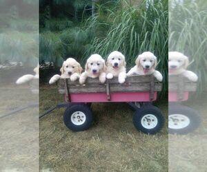 Golden Retriever Puppy for Sale in DAYTON, Virginia USA