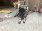 Keeshond Puppy For Sale in YORBA LINDA, CA, USA