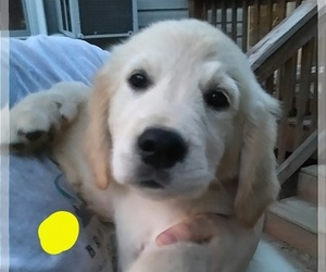Golden Retriever Puppy for Sale in WEST POINT, Virginia USA
