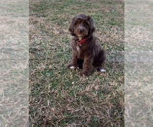 Goldendoodle Puppy for sale in MBORO, TN, USA