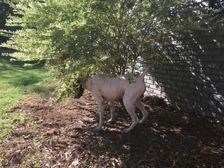 Lab-Pointer Puppy For Sale in PELZER, SC