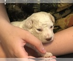 Image preview for Ad Listing. Nickname: Lagotto Puppy