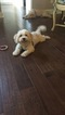 Cavachon Puppy For Sale in RALEIGH, NC, USA