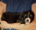 Australian Shepherd Puppy For Sale in PENN VALLEY, CA