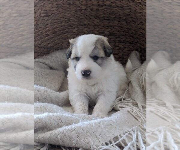 Medium Photo #52 Great Pyrenees Puppy For Sale in FALCON, CO, USA