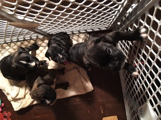 Boxer Puppy For Sale in RUNNEMEDE, NJ