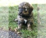 Bernedoodle Puppy For Sale in STEWARTSVILLE, NJ, USA