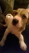 Boxer-Mastiff Mix Puppy For Sale in DENVER, CO