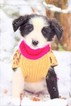 Chesney Black and White Male Border Collie Puppy