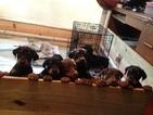 Doberman Pinscher Puppy For Sale in PASADENA, TX, USA