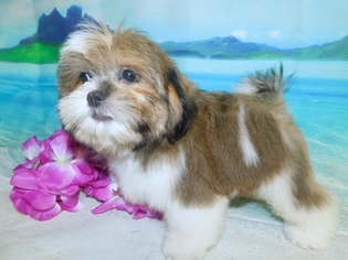 View Ad Shih Tzu Puppy For Sale Indiana Hammond Usa