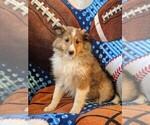 Small Shetland Sheepdog