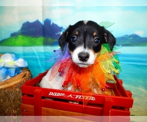 Australian Cattle Dog-Rat Terrier Mix Puppy for sale in HAMMOND, IN, USA