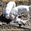 Small Photo #166 Dogo Argentino Puppy For Sale in PINEVILLE, MO, USA