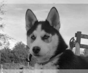 Siberian Husky Puppy for sale in ROBBS, IL, USA