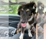 Australian Shepherd Puppy For Sale in ALVIN, TX, USA
