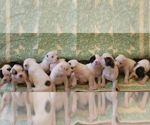 American Bulldog Puppy for sale in MECHANICSVILLE, VA, USA