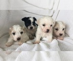 Coton de Tulear Puppy For Sale in FELTON, PA, USA