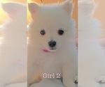 Puppy 5 Pomeranian