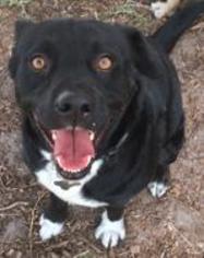 Borador Dog For Adoption in Sanford, FL