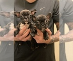 Small Photo #1 French Bulldog Puppy For Sale in SAN DIEGO, CA, USA