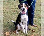 Small #19 Treeing Walker Coonhound