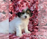 Small #1 Poodle (Miniature)-Shorkie Tzu Mix