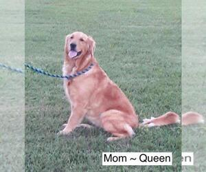 Mother of the Golden Retriever puppies born on 12/09/2020