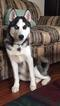 Siberian Husky Puppy For Sale in EUCLID, OH