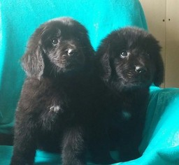 Newfoundland Puppy For Sale in REDKEY, IN, USA