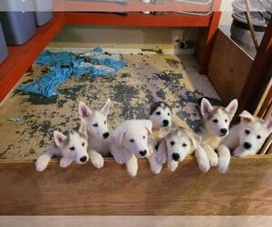 German Shepherd Dog-Husky Mix Puppy for Sale in LOGANVILLE, Georgia USA