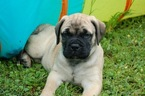 Bullmastiff Puppy For Sale in WILLIAMSBURG, VA, USA