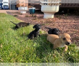 Wapoo Puppy for sale in COLORADO SPGS, CO, USA