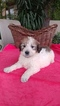 Labradoodle Puppy For Sale in FRESNO, California,