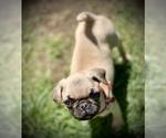 Small #12 Pug