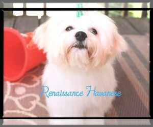 Havanese Puppy for sale in OXFORD, CT, USA