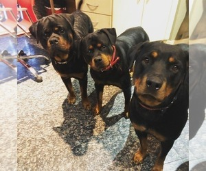 Rottweiler Puppy for sale in JOLIET, IL, USA
