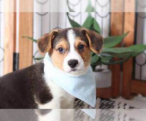 Pembroke Welsh Corgi Puppy for sale in NAPLES, FL, USA