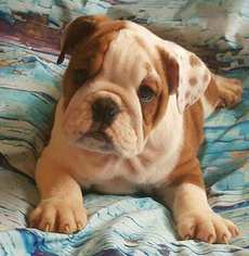 English Bulldogge Puppy For Sale in NORTH HIGHLANDS, CA