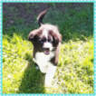 Miniature Australian Shepherd Puppy For Sale in PHOENIX, AZ, USA