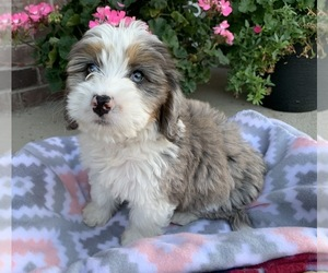 Bernedoodle Puppy for Sale in GREENWOOD, Indiana USA