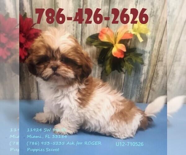 Medium Photo #1 Maltese Puppy For Sale in MIAMI, FL, USA