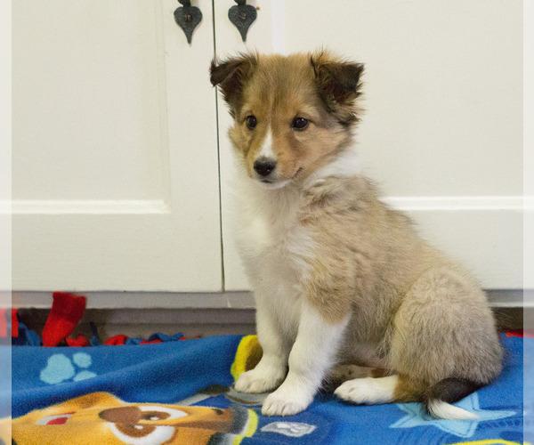 Medium Photo #6 Shetland Sheepdog Puppy For Sale in MILWAUKEE, WI, USA