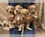 Small #1 Goldendoodle-Poodle (Standard) Mix