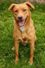 Hershel - Labrador Retriever Dog For Adoption