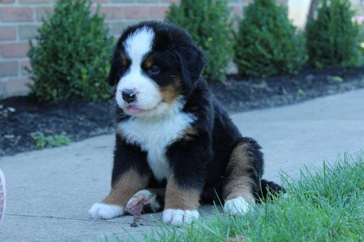 View Ad Bernese Mountain Dog Puppy For Sale Near Ohio