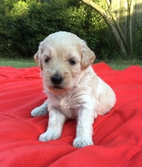 Goldendoodle Puppy For Sale in DUNCAN, OK