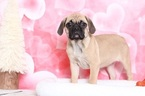 Puggle Puppy For Sale in BEL AIR, MD, USA